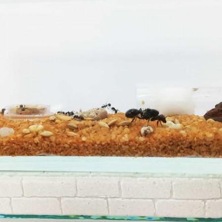 recomendable para colonia de hormigas medianas
