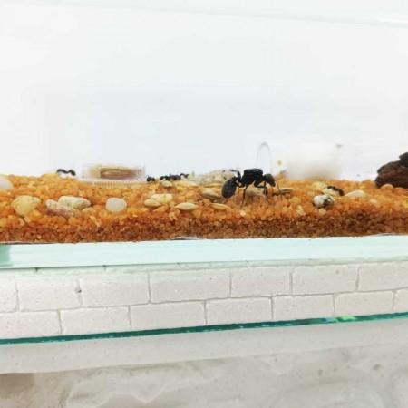 caja de forrajeo de cristal con tapadera y orificio para conectar el hormiguero