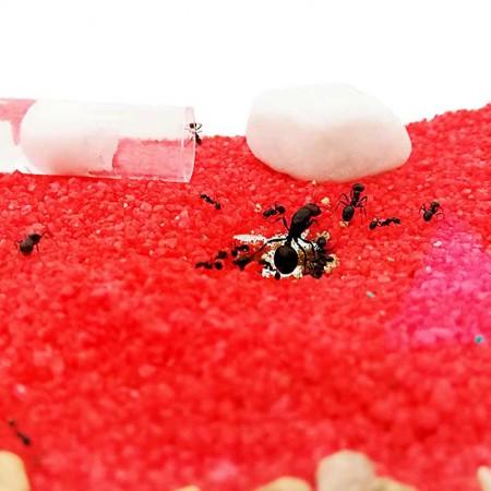 especie hormigas Messor barbarus en la caja de forrajeo