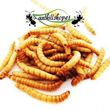 Tenebrios 25 gramos alimento para hormigas