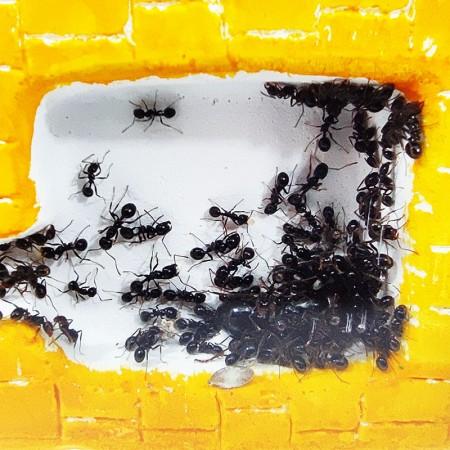 gran colonia de hormigas