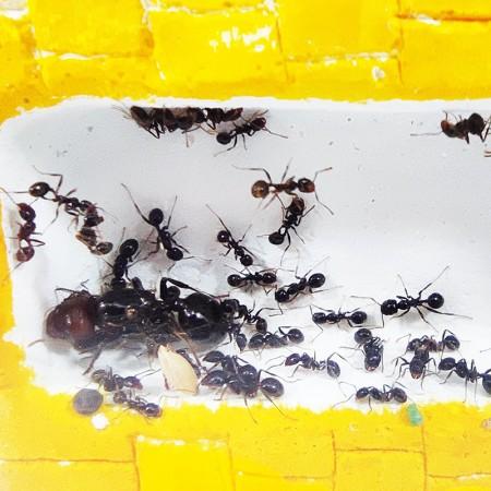reina hormiga de Anthillshop
