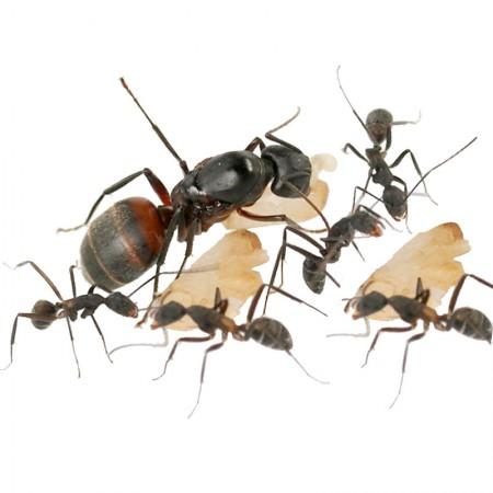 Colonia de Camponotus cruentatus para todo tipo de hormigueros y juegos educativo.