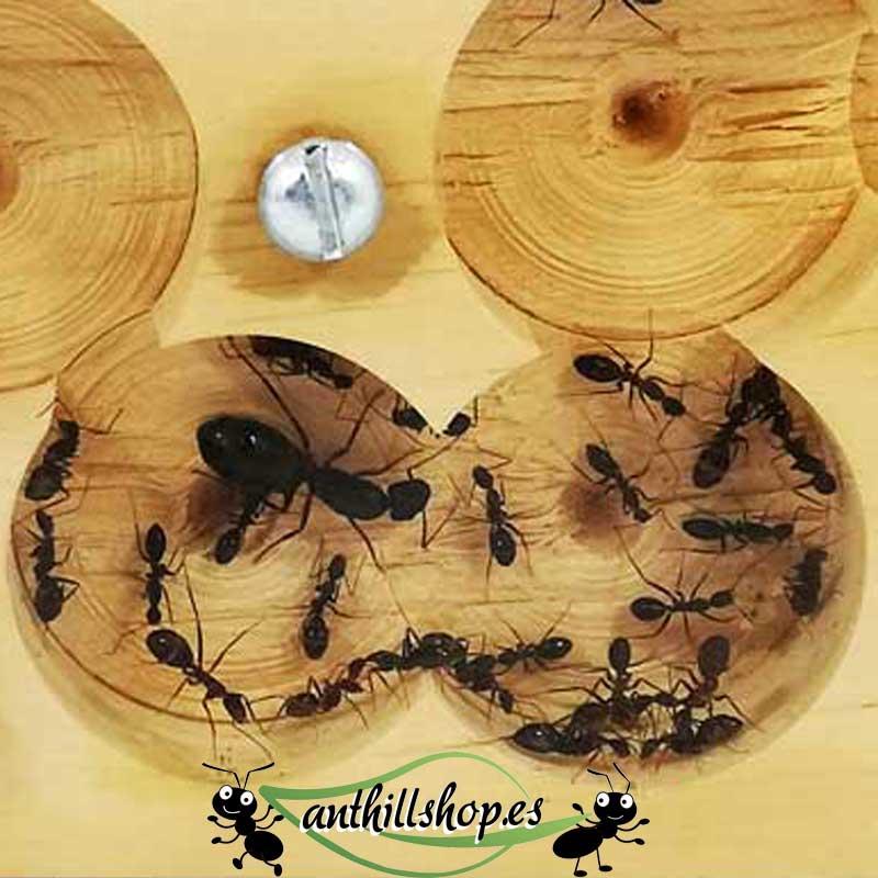 Hormiguero de madera Camponotus barbaricus